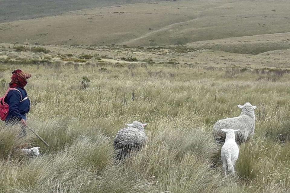 Un señor y sus ovejas en el páramos del Ecuador.