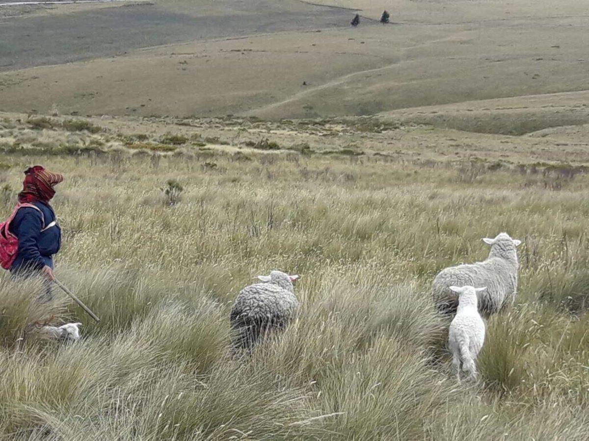 Sheep heard near Quito